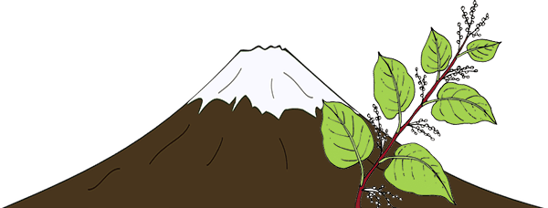 Drawing of Mount Fuji with Knotweed in foreground