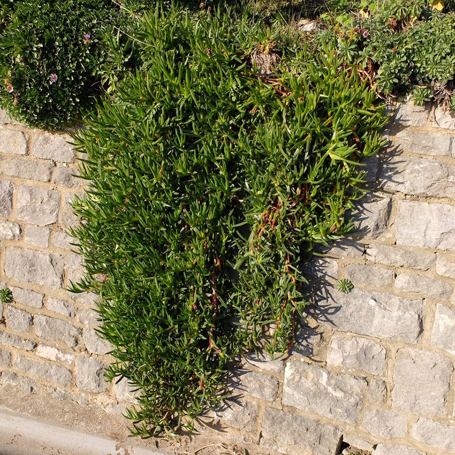 Hottentot Fig Spreading On Stone Wall