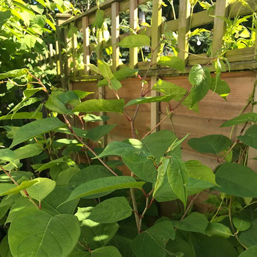 Japanese Knotweed Climbing On Fence And Invading Garden