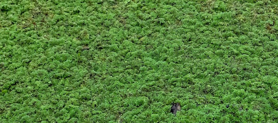 Water Fern (Azolla Filiculoides