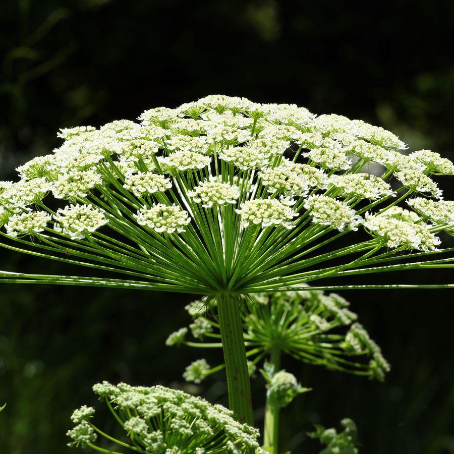 Giant Hogweed Flower