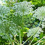 Giant Hogweed in forest