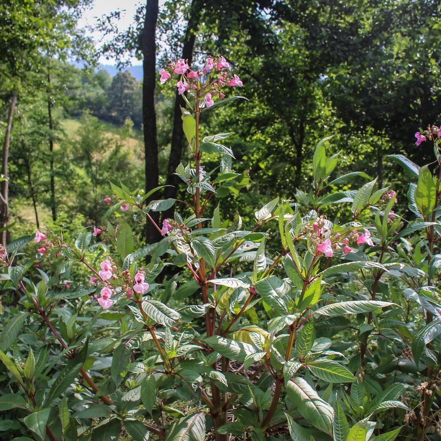 Impatiens Glandulifera / Himalayan Balsam In Flower