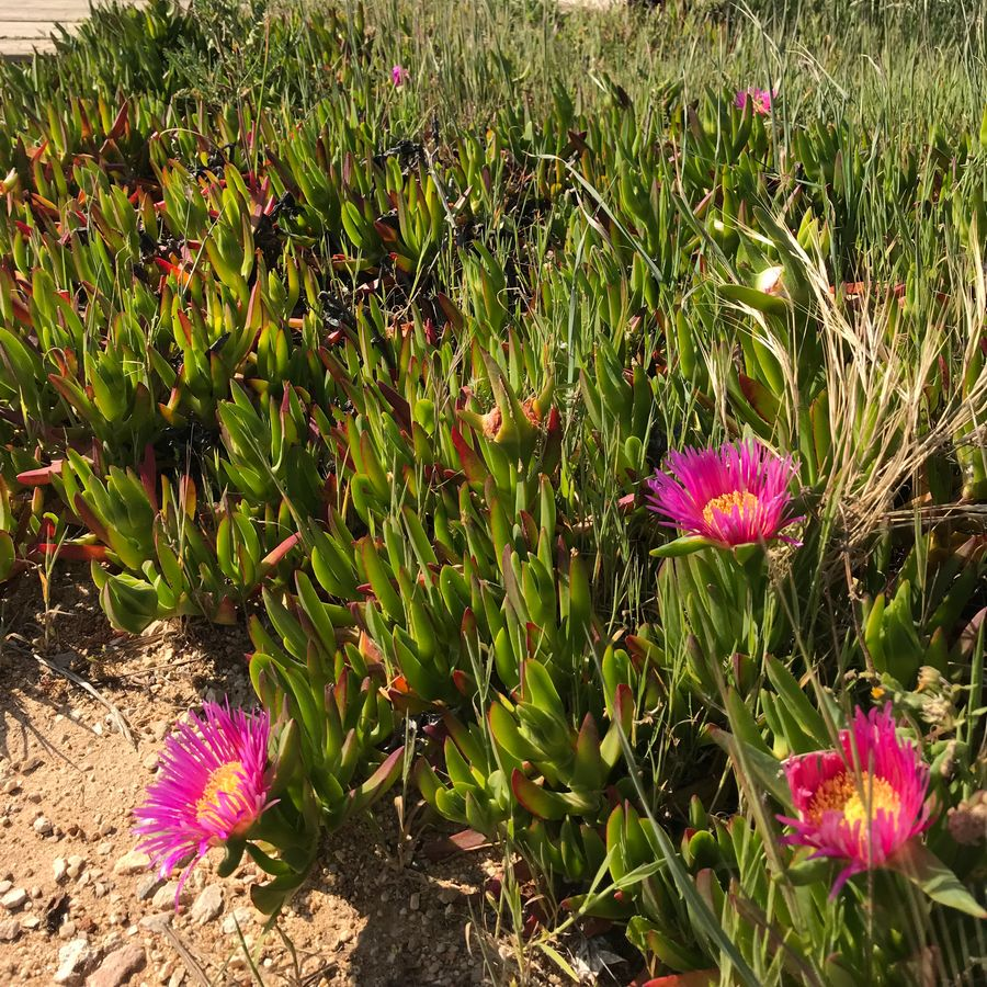 Hottentot Fig Flowers