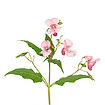 Impatiens glandulifera flowers isolated on white background