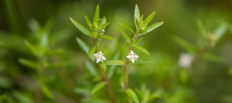 Crassula Helmsii (aka New Zealand Pygmyweed) In Flower