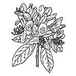 Plant Rhododendron ponticum illustration