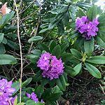 Rhododendron ponticum close up